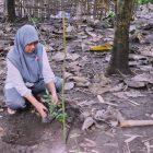 Ratnah Arasy, PO ACCESS Tahap II Sulsel menanam pohon Lobi-Lobi di Rumah Hijau Denassa (RHD)
