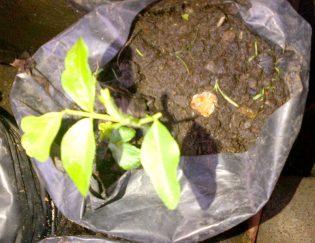 BAGORE. Anakan pohon Bagore di Rumah Hijau Denassa (RHD) di Gowa