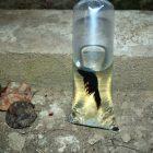 Ikan bitte di Rumah Hijau Denassa (RHD).