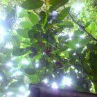 BU'NE. Salah satu pohon Buni Koleksi Rumah HIjau Denassa (RHD) di Sulsel