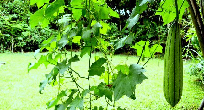 Patola salah satu sayur yang ditanam di Kebun Rumah Hijau Denassa (RHD)