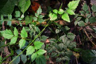 Katangka salah satu tanaman yang di tangkarkan di Rumah Hijau Denassa (RHD)