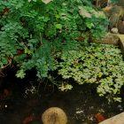 Kolam ikan di halaman depan Rumah Hijau Denassa dikembangkan jenis ikan-ikan lokal