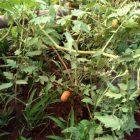 Rumah Hijau Denassa (RHD) koleksi Tomat (Tagalae)