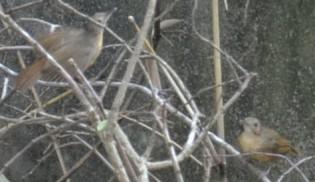 Burung Pote atau Pelanduk Sulawesi (Trichastoma celebense) di Rumah Hijau Denassa (RHD).
