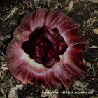 Bunga Bangkai (Amorphophallus titanum Becc.) mekar di Rumah Hijau Denassa (RHD), 10/11/2013 (Foto: Darmawan Denassa)
