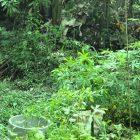 RHD. Pembenahan kebun periode dua 2014