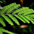 RHD. Daun pohon Sappang (Caesalpinia sappan L.) di Rumah Hijau Denassa (RHD) tanaman ini dikenal pula dengan nama Secang.