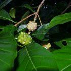 RHD. Bingkuru tanaman yang sangat mirip dengan Mengkudu.