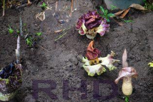 Beberapa Bunga Bangkai telah mekar sempurna di areal konservasi, Rumah Hijau Denassa (RHD) pada 27.11.2014