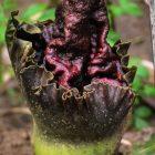 Bunga Bangkai (Amorphophallus paeoniifolius) sedang kuncup di Rumah Hijau Denassa (RHD)
