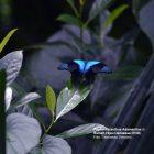 Papilio Peranthus Adamantius di Rumah Hijau Denassa (foto: Darmawan Denassa)