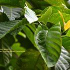 RHD. Pohon jabon putih; Anthocephalus cadamba (Foto; Darmawan Denassa)