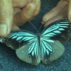 Koleksi Rumah Hijau Denassa (RHD) kupu-kupu (butterfly) Pareronia tritea hermocinia (25/03/2016)