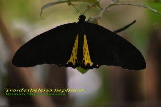 Kupu-kupu Raja sub spesies Troideshelena hephaest di Rumah Hijau Denassa (RHD) Foto; Darmawan Denassa