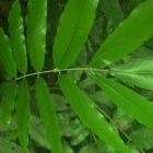RHD. Pohon Bali-bali