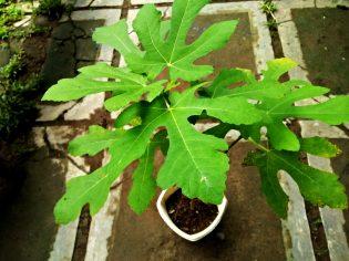 RHD. Pohon Tin (Ficus carica L.) Koleksi Terbari di Rumah Hijau Denassa (RHD)