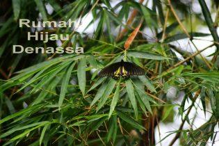 RHD. Torides helena salah satu jenis Kupu-kupu Besar di Rumah Hijau Denassa (RHD) 15.10.2017 Foto. Darmawan Denassa