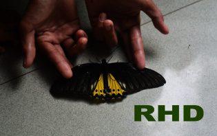 RHD. Troides Helena saat proses Dokumentasi (15.10.2017)