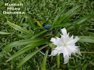 RHD. Bunga White Spider Lily Pancratium mini sedang Mekar di Rumah Hijau Denassa (Foto: Darmawan Denassa)