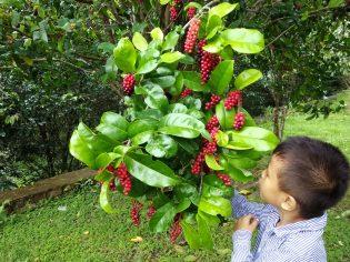 RHD. Asraf Denassa sedang Mengamati Buah Buni (Antidesma bunius) di Kebun Raya Massenrempulu, Enrekang, Sulsel (15.01.2017)