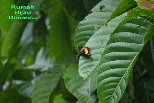 RHD. Kupu-kupu Coklat Kuning hinggap di Pohon Jabon Rumah Hijau Denassa (RHD)