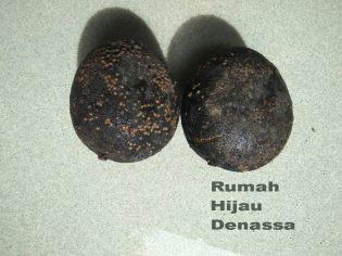 RHD. Mangga Hitam Sulawesi (03.01.2018)