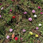 RHD. Bunga Sutera Bombay (Portulaca grandiflora) di Sawahku, Rumah Hijau Denassa (RHD)